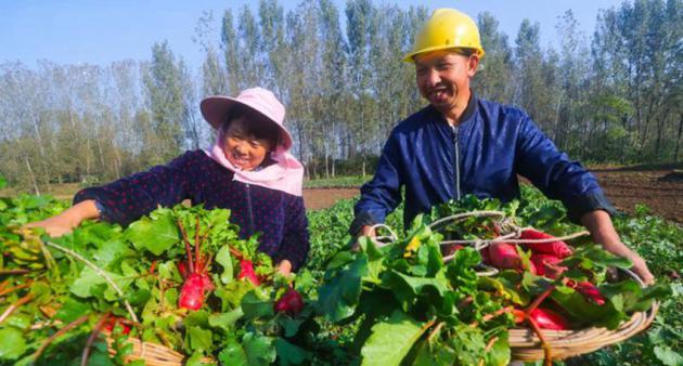河南光山县:萝卜喜获丰收